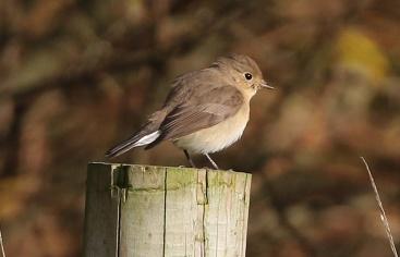 Red-breasted Flycatcher, Waxham