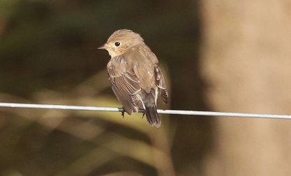 Red-breasted Flycatcher, Waxham
