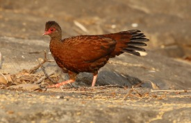 Red Spurfowl