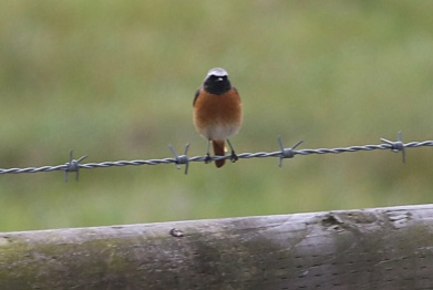 Redstart, Burnham Overy Dunes, 18th May