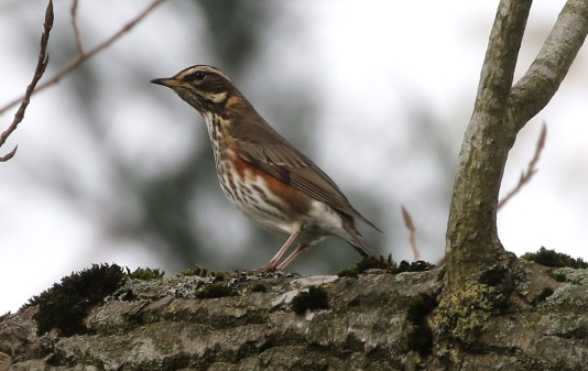 Redwing, Cockley Cley