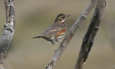 Redwing, East Hills, 5th October