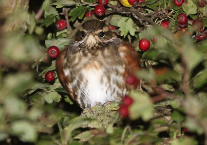 Redwing, Garden Drove, 5th October