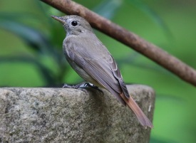 Russet tailed Flycatcher