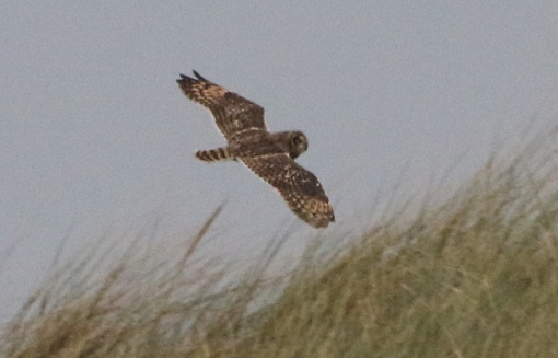 Short-eared Owl, Burnham Overy Dunes, 6th October