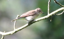 Spotted Flycatcher, Cockley Cley