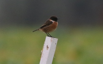 Stonechat, Cockley Cley