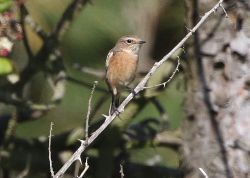 Stonechat, East Hills, 8th September