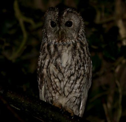 Tawny Owl, Fincham