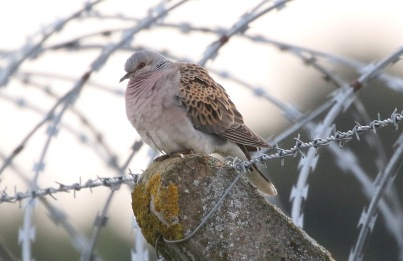 Turtle Dove, 1st September