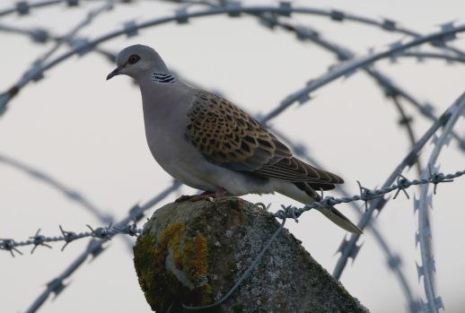 Turtle Dove, 1st September