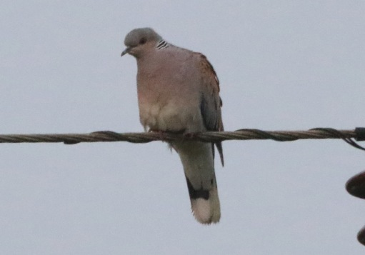 Turtle Dove, 1st May