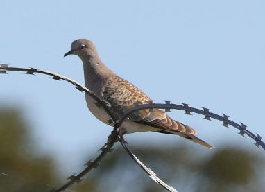 Turtle Dove, 14th September