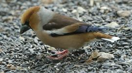Hawfinch, 21st April