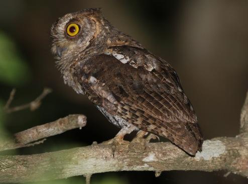 Waldons Scops Owl