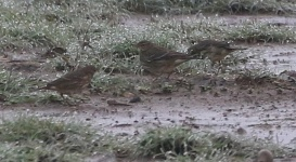 Water Pipit, North Point, 5th November