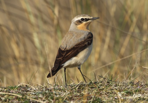 Wheatear, Burnham Overy Dunes, 19th April