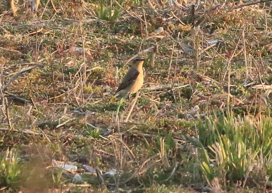 Wheatear, Cockley Cley, 21st April
