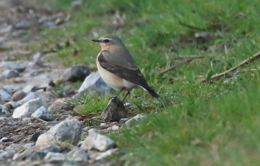 Wheatear, Cockley Cley 21st April