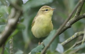 Willow Warbler, Cockley Cley, 11th August