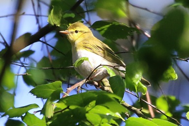 Wood Warbler, Cockley Cley 12th May
