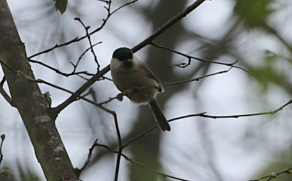 Willow Tit, 7th April