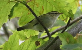 Yellow-browed Warbler, East Hills, 5th October