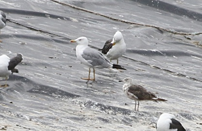 Yellow-legged Gull, Cockley Cley, 3rd August