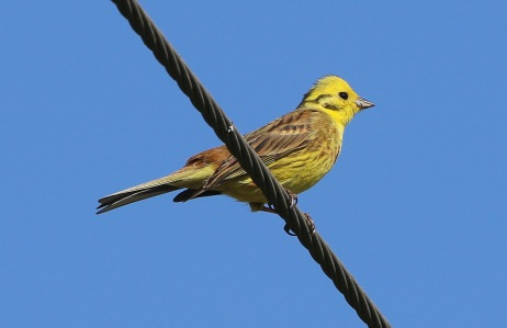 Yellowhammer, Narborough, 21st April
