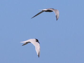 Roseate Tern with a Common Tern