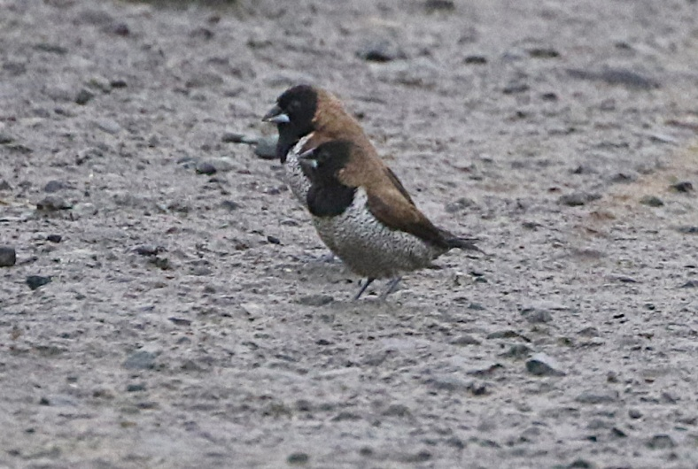 BLACK FACED MUNIA