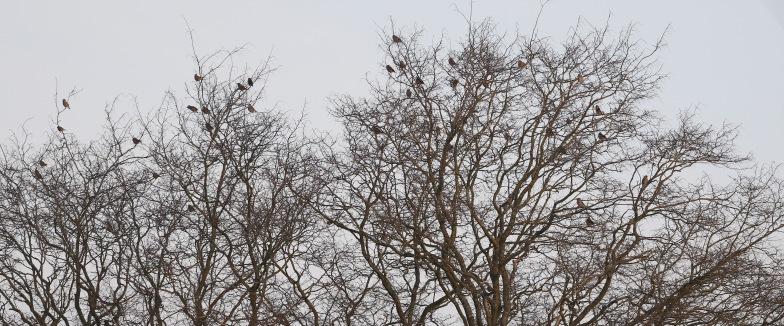Hawfinch, Lynford 3rd February