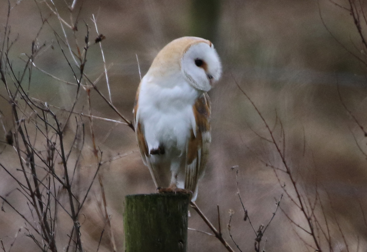 BARN OWL CC