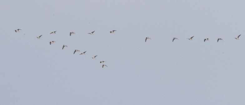 Barnacle Goose, Holme 1st January
