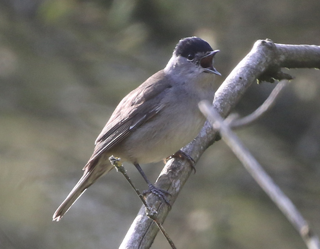 BLACKCAP APR 20