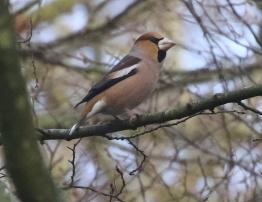 Hawfinch, Lynford