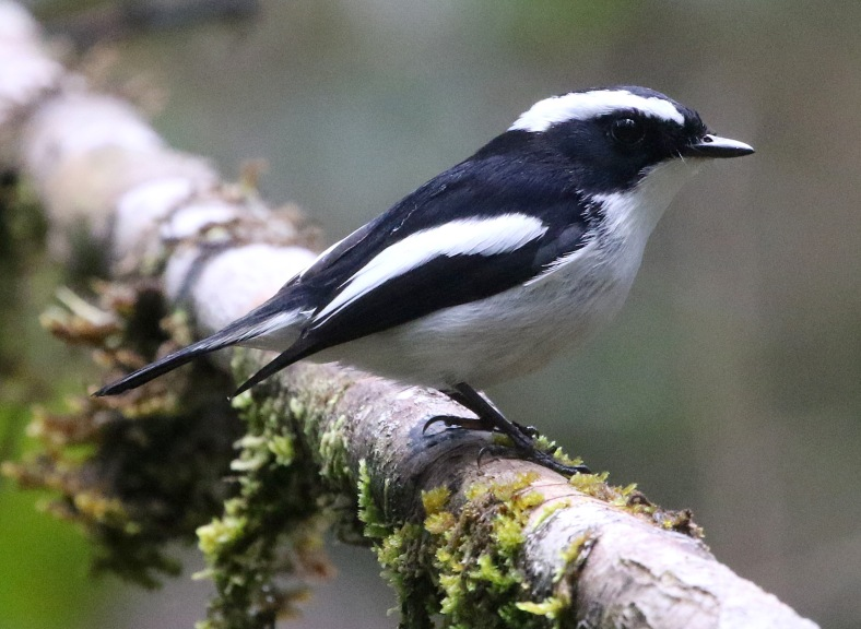 LITTLE PIED FLY 1