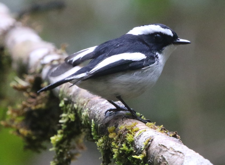 little pied fly