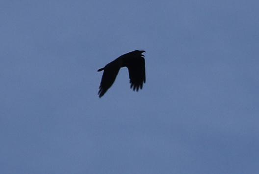 Raven, Lynford 3rd February