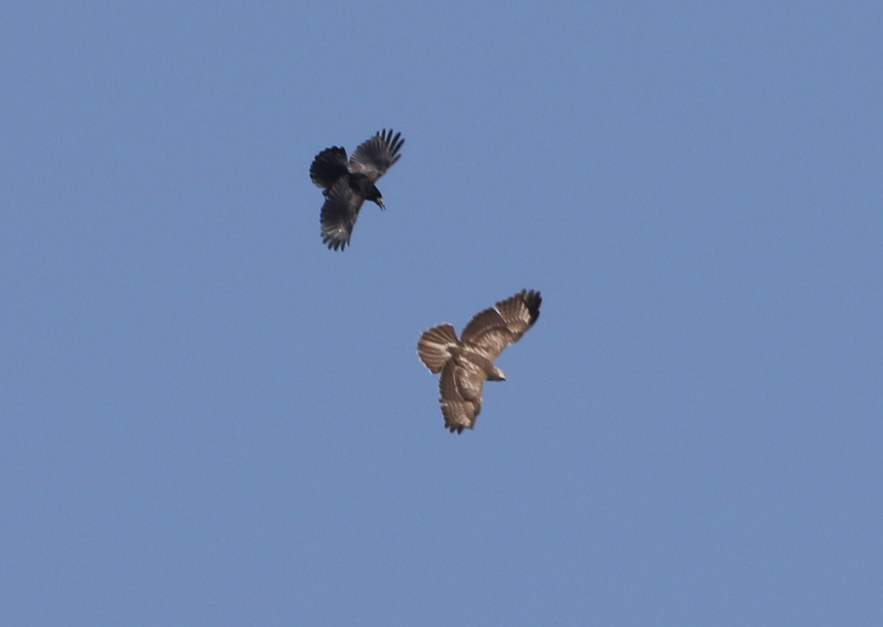 ROOK AND BUZZARD