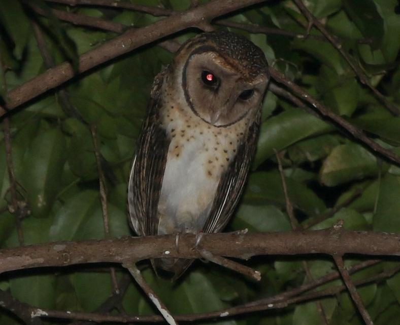 SERAM M OWL 1