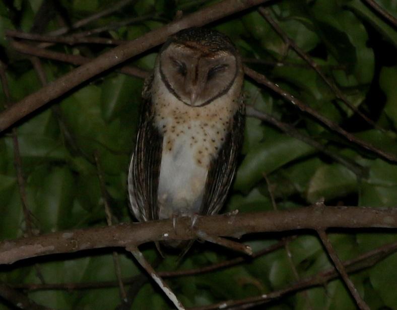 SERAM M OWL 2