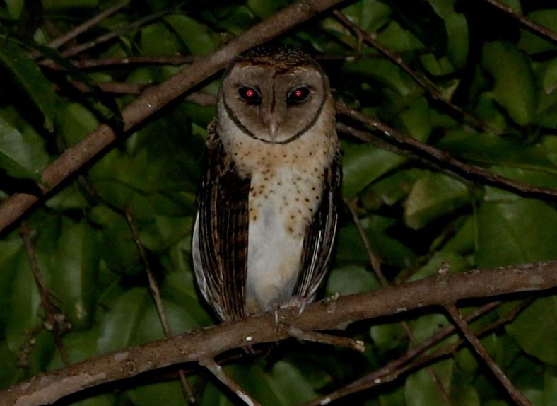 SERAM M OWL 3