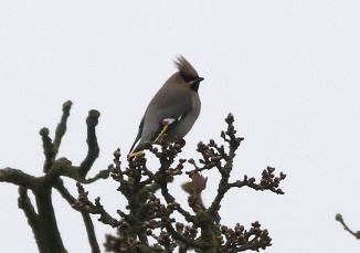 Waxwing, Sculthorpe, 25th January