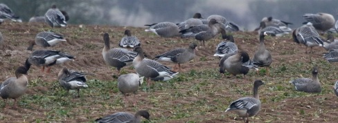 White-fronted Goose, Choseley 1st January